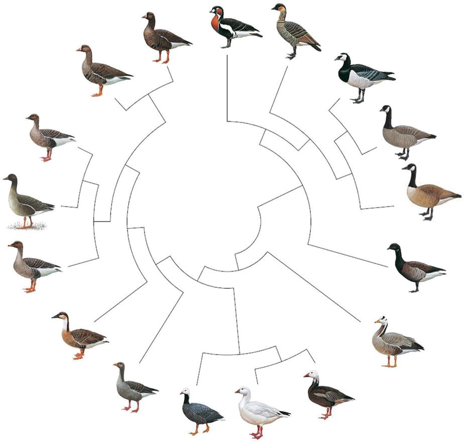 A Tree of Geese