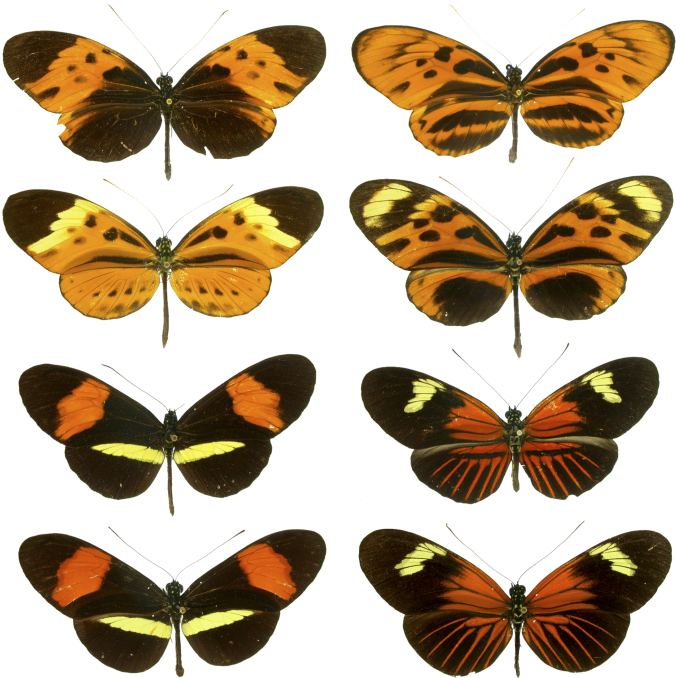 Heliconius_mimicry.png